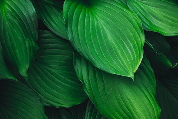 abstract background of green large leaves
