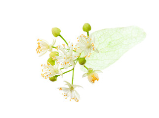 Linden (Tilia ) flowers isolated on white background.