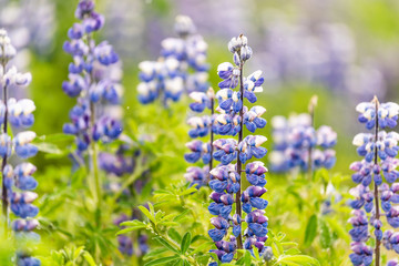 Closeup of colorful blue and purple wet lupine lupin flowers in Iceland with bokeh, detail and texture, sunny sunlight during after rain