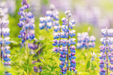 Colorful blue and purple wet lupine lupin flowers closeup in Iceland with bokeh, detail and texture, sunny sunlight during after rain