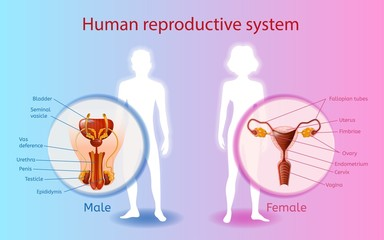 Human Reproductive System Vector Scientific Chart