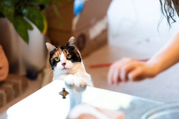 Calico cat standing up on hind legs, leaning on table with two front paws begging for treat, adorable cute big eyes asking for food in living room, doing trick Wall mural