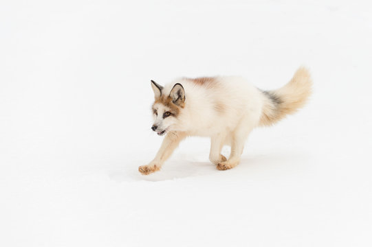 Red Marble Fox (Vulpes vulpes) Runs Left Isolated Against Snow