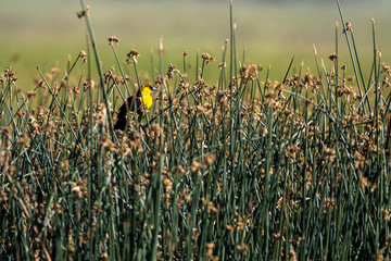 A male Yellow-headed Blackbird perches in the bulrushes in the marsh at Alamosa National Wildlife Refuge in southern Colorado