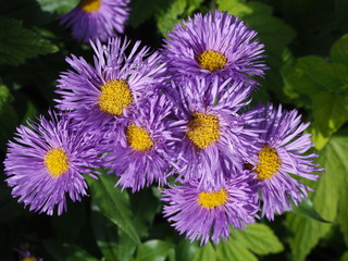 Pretty New England aster flowers in full bloom
