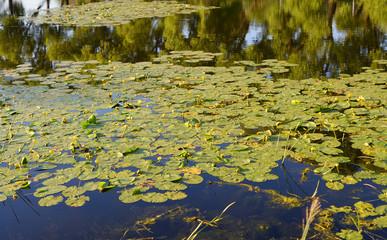 Yellow water lilies on lake.