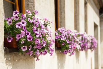 Flowerpots with blooming petunia in windows