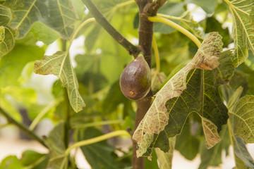 Rip fig fruit on tree