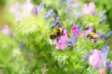 Wildbiene oder Hummel an Natternkopf