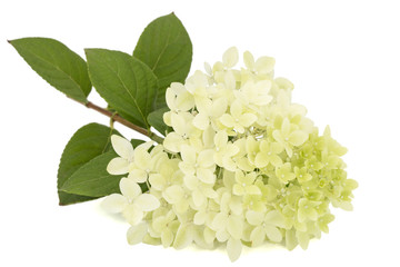 Flowers of hydrangea, isolated on white background