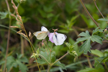 Two butterflies drink nectar from wildflowers in the Colorado Rocky Mountains