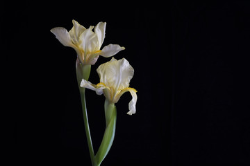 Two Light Yellow Iris Flowers with Black Background