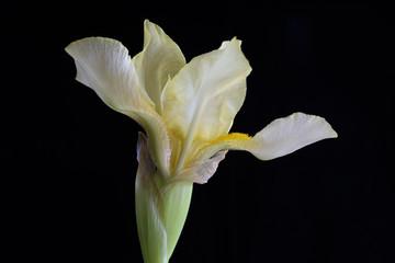 Close-up of Light Yellow Iris Flower