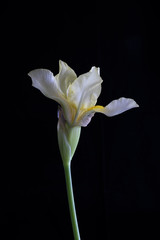 Single Light Yellow Iris Flower