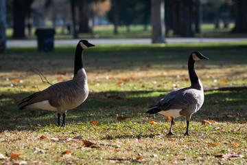 Canada geese walking on green grass