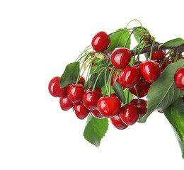 Branch with sweet red cherries on white background