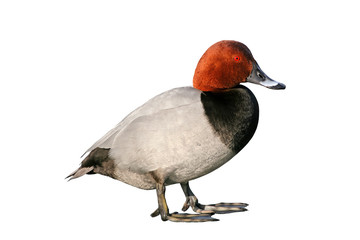 Pochard Duck (Aythya ferina), isolated on white background