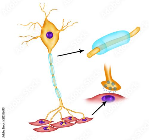 Motor neuron vector diagram stock photo and royalty free images on motor neuron vector diagram ccuart Choice Image