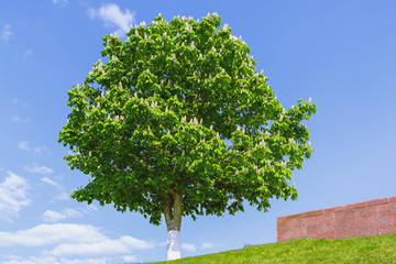 Blossoming Horse Chestnut Against A Blue Sky
