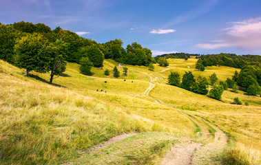 dirt road uphill through grassy rolling hills. beautiful mountainous landscape with beech forest in summer. cow cattle and woodshed in the distance. location Svydovets mountain ridge, Ukraine
