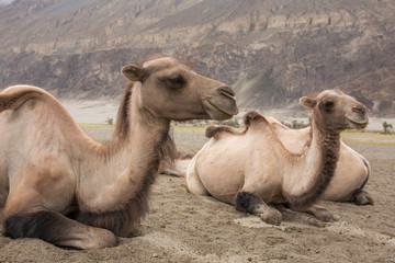 Domestic camels in Nubra valley in Ladakh, India