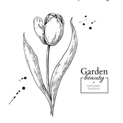 Tulip flower and leaves drawing. Vector hand drawn engraved flor