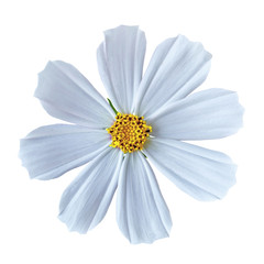 flower white yellow cosmos (mexican aster), isolated on a white  background. Close-up. Element of design.