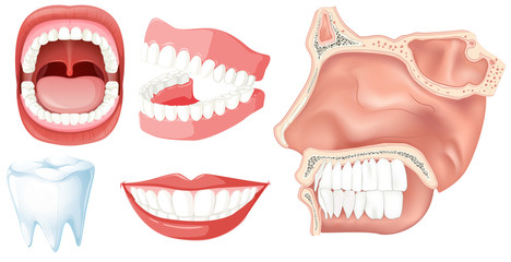 A Set of Human Teeth