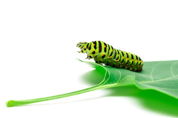 Swallowtail caterpillar white background