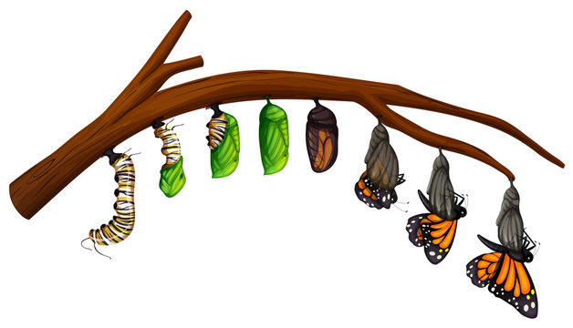 A Set of Butterfly Life Cycle