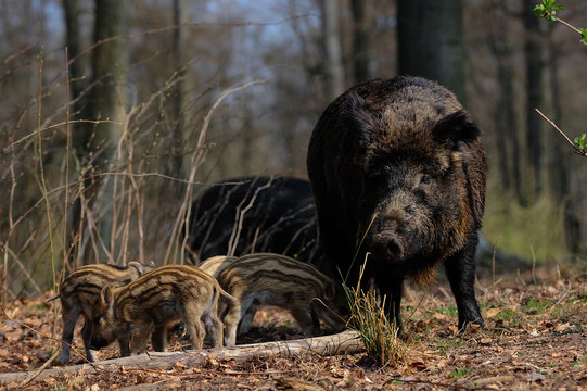 Wild boar family standing in the forest, spring, germany, (sus scrofa)