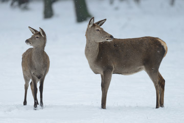 Red deer female standing with calf in the winter forest, germany, (cervus elaphus)
