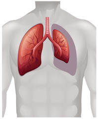 Placement of lungs on human