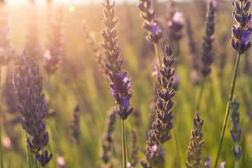 Lavender field in sunlight,Spain.