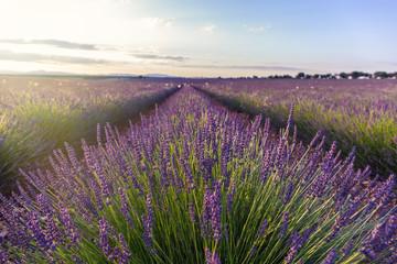 Garden Poster Lavender Lavender field in sunlight,Spain.