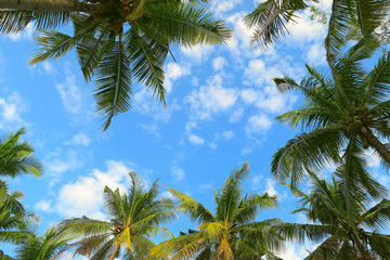 Bottom view of palm trees tropical forest at blue sky background