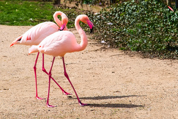 Beautiful couple of Pink flamingo walking together