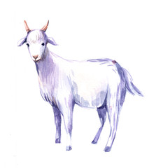 Goat. Watercolor illustration