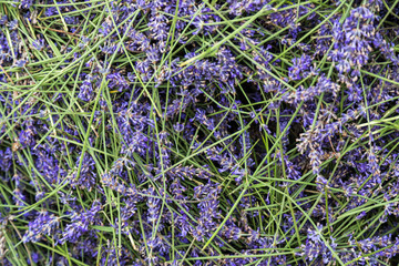 Harvested lavender, cut and ready for distilling the oil