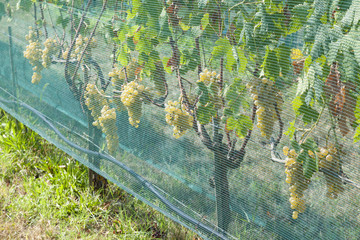 Dorona grapes on the vine in Mazzorbo, Venice, Italy, covered by protective netting against insect damage
