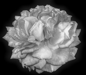 Fine art still life monochrome macro flower portrait photography of an isolated white rose blossom with detailed texture in top view, vintage painting style on black background