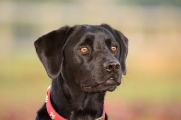 Black Labrador retreiver portrait