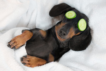 dog dachshund, black and tan, relaxed from spa procedures on face with cucumber, covered with a...