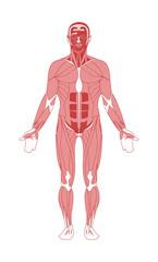 Make human muscular system