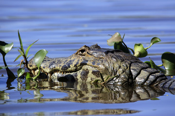 Close-up of a Yacare Caiman (Caiman yacare) in the Water. Porto Jofre, Pantanal, Brazil