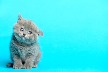 Young british kitten blue background
