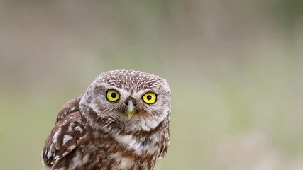 Fototapete - Little owl (Athene noctua) makes disturbing sounds. Close Up