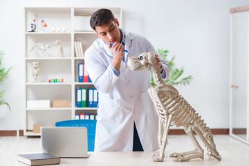 Doctor vet practicing on dog skeleton