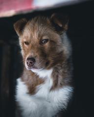 Husky puppy.