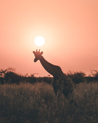 Sunset giraffe.